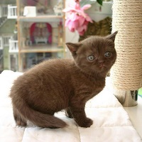 British Shorthair Kittens For Sale | Kittens for sale